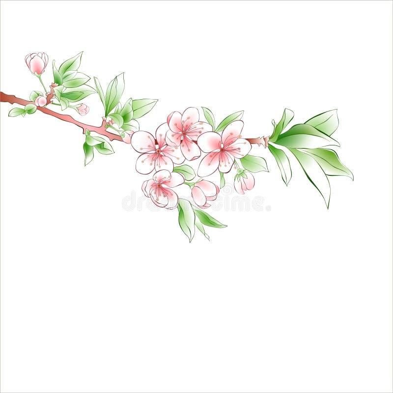 Körsbärsröd filialblomning på vit bakgrund Rosa blommor Vår stock illustrationer