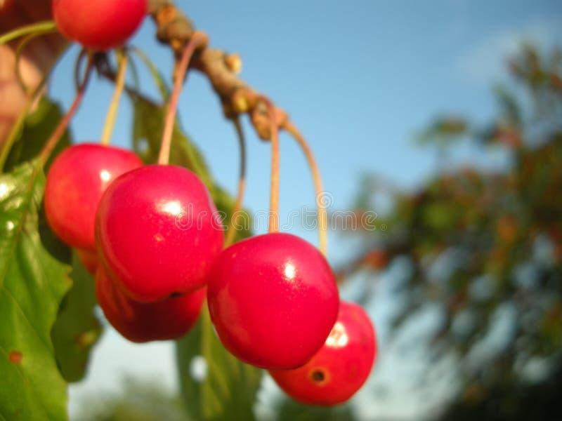 Körsbärsröd fruktdetalj på trädet i juni fotografering för bildbyråer