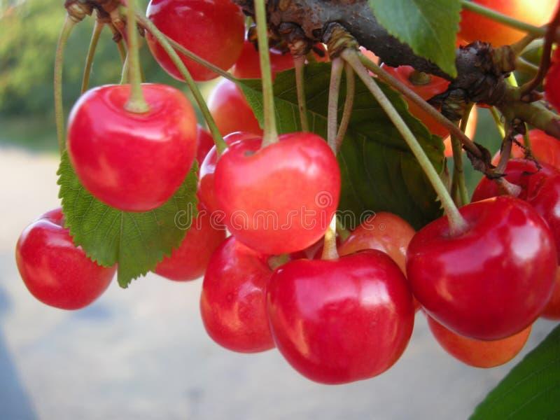 Körsbärsröd fruktdetalj på trädet i juni royaltyfri bild