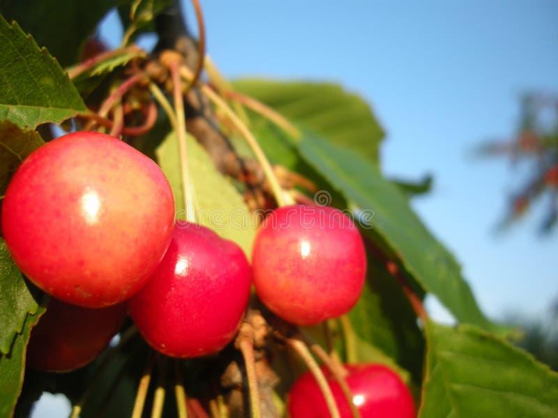 Körsbärsröd fruktdetalj på trädet i juni med blå himmel på bakgrund royaltyfri foto