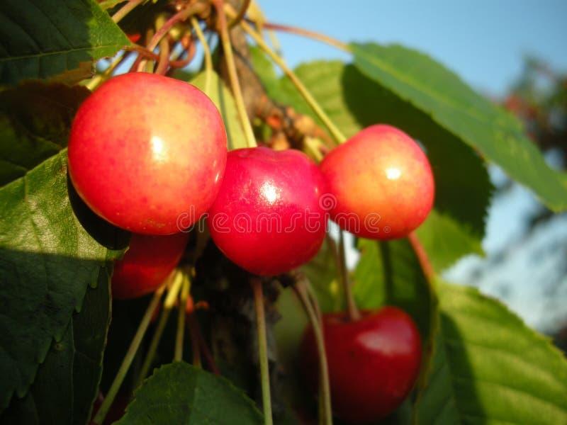 Körsbärsröd fruktdetalj på trädet i juni med blå himmel på bakgrund fotografering för bildbyråer