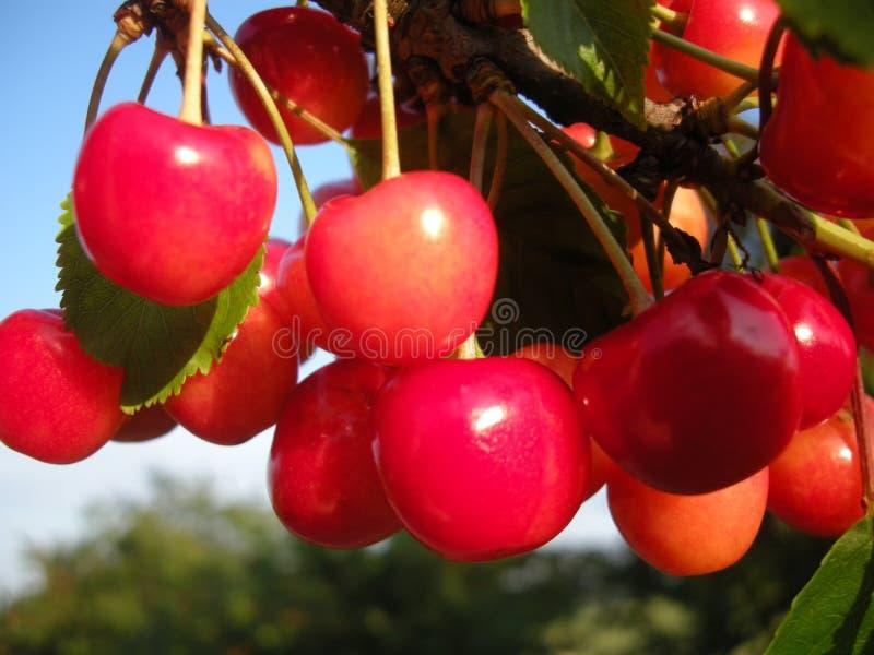 Körsbärsröd fruktdetalj på trädet i juni med blå himmel på bakgrund royaltyfria bilder