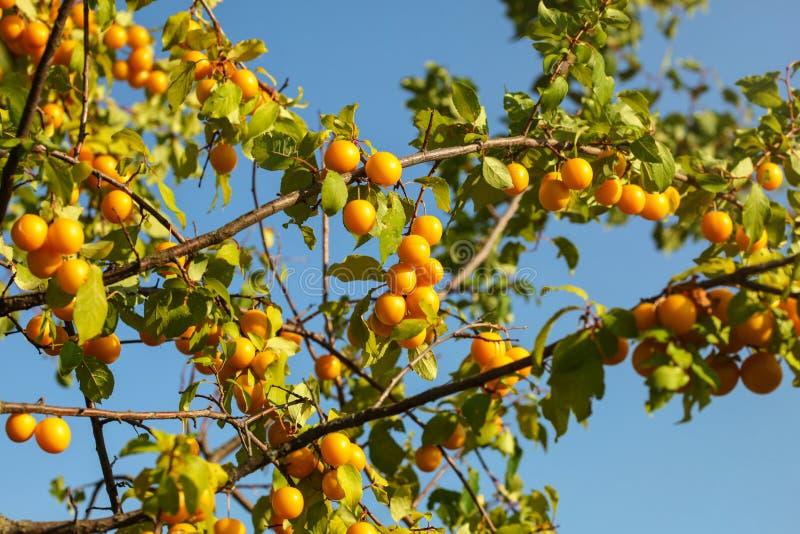 Körsbärsröd katrinplommon för gula mirabellplommoner på trädfilialer som tänds av af royaltyfria foton