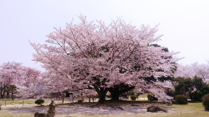 Körsbärsröd/Sakura träd som i rätt tid blommar i Japan royaltyfria bilder