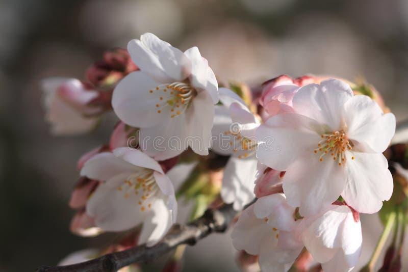 Körsbärsröd sp för blossoms(Cerasus ), royaltyfria bilder