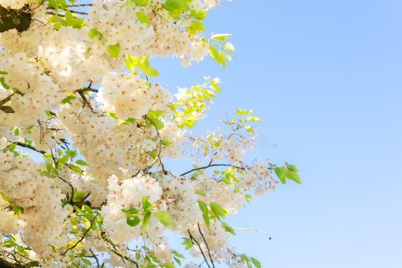 Körsbärsröd Treeblomning arkivfoto