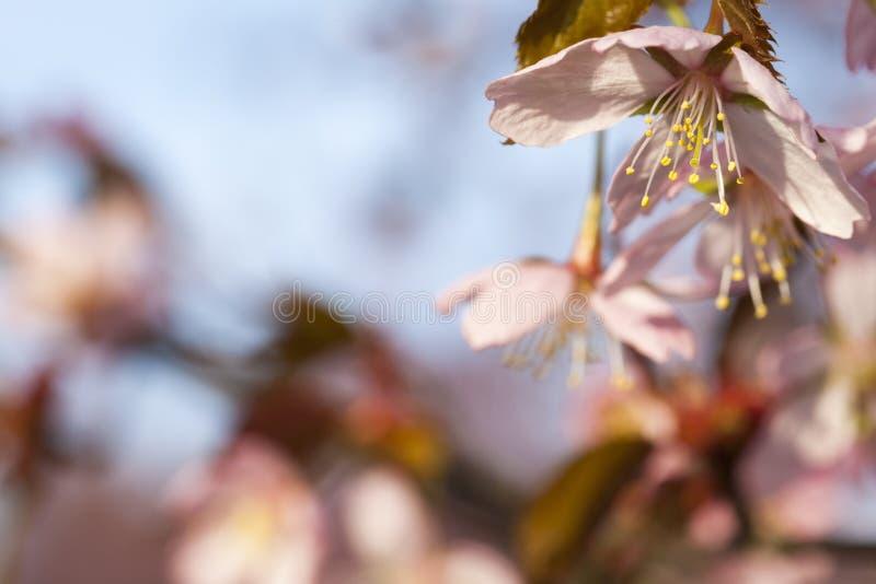 Körsbärsröd Treeblomning royaltyfria foton