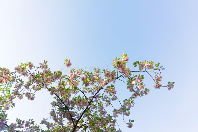 Körsbärsröd Treeblomning arkivbild