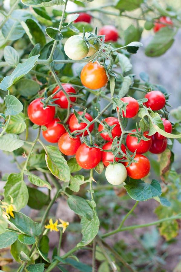Körsbärsröd växt för tomat med röda och gröna frukter royaltyfri foto