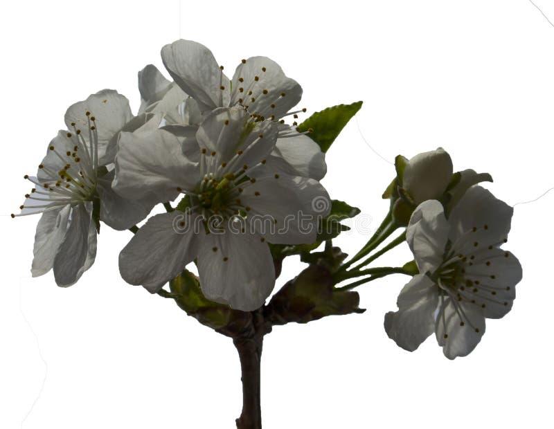 Körsbärsröda blommor arkivbild