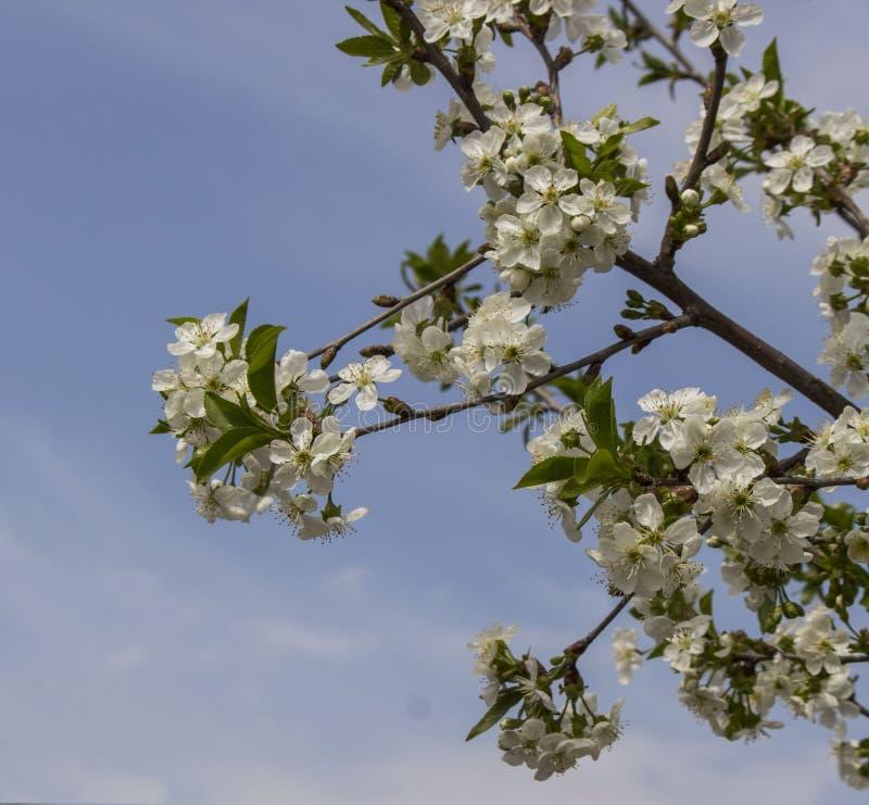 Körsbärsröda blommor fotografering för bildbyråer