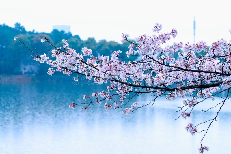 Körsbärsröda blomningar är som snö royaltyfria bilder