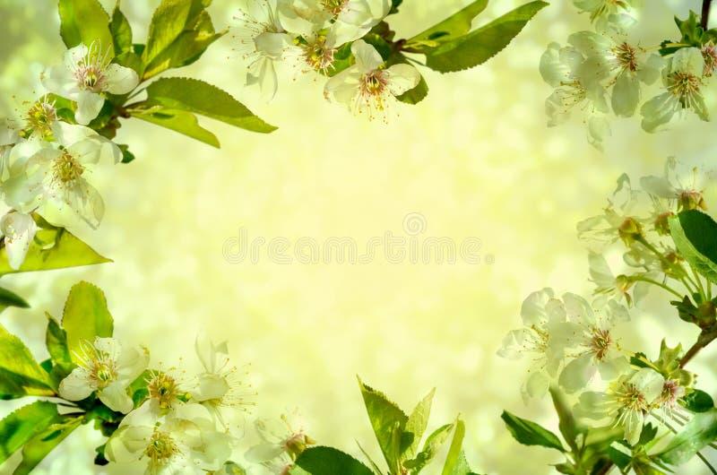 Körsbärsröda blomningar över grön bakgrund royaltyfri bild