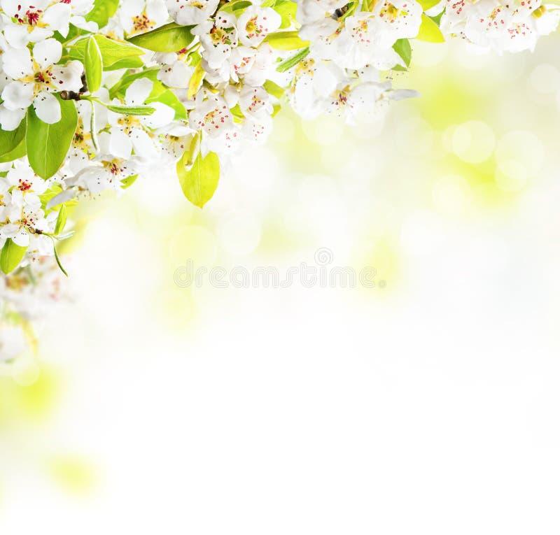 Körsbärsröda blomningar över suddig naturbakgrund fotografering för bildbyråer