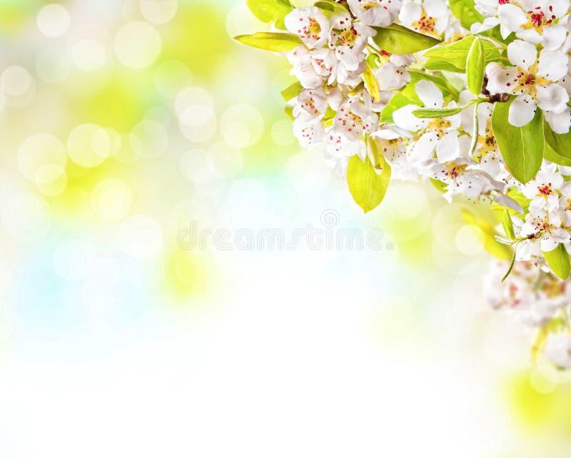 Körsbärsröda blomningar över suddig naturbakgrund royaltyfri fotografi