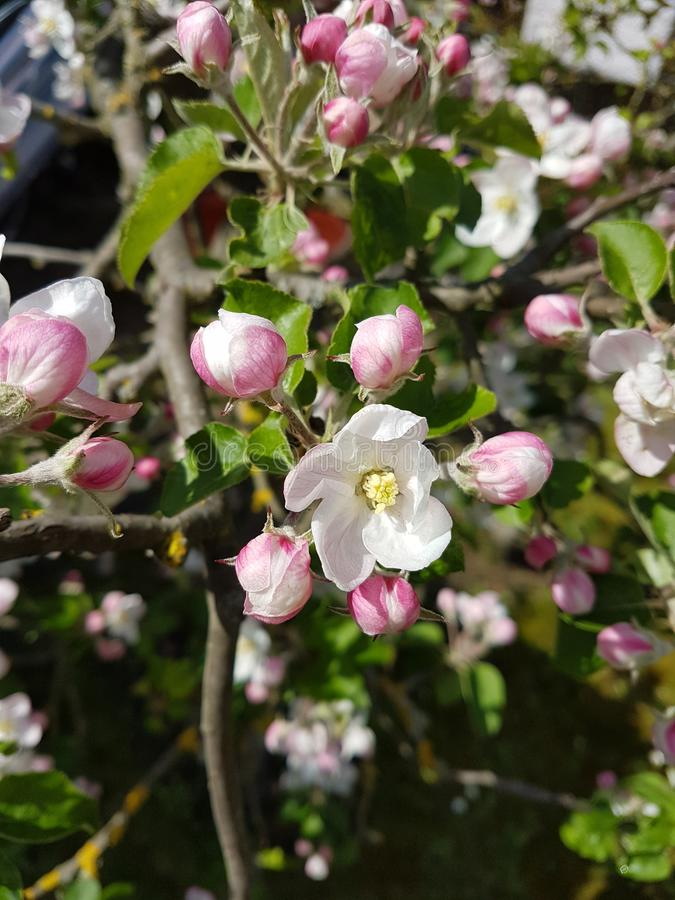 Körsbärsröda blomningar royaltyfria foton