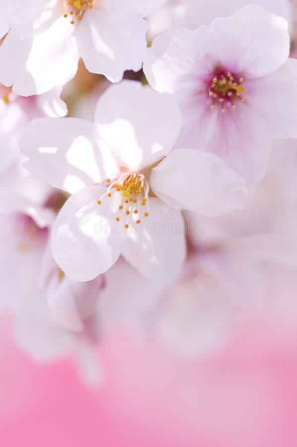 Körsbärsröda blomningar royaltyfri foto