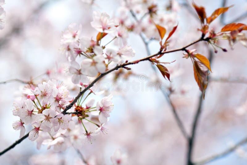 Körsbärsröda blomningar royaltyfri fotografi