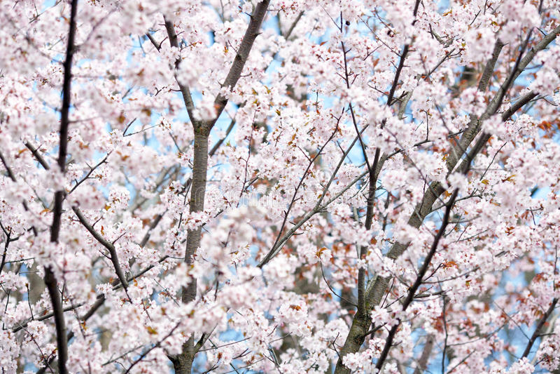 Körsbärsröda blomningar arkivbild