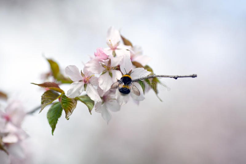 Körsbärsröda blomningar arkivfoton
