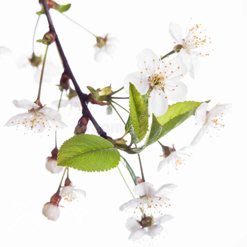 Körsbärsröda blomningar royaltyfri bild