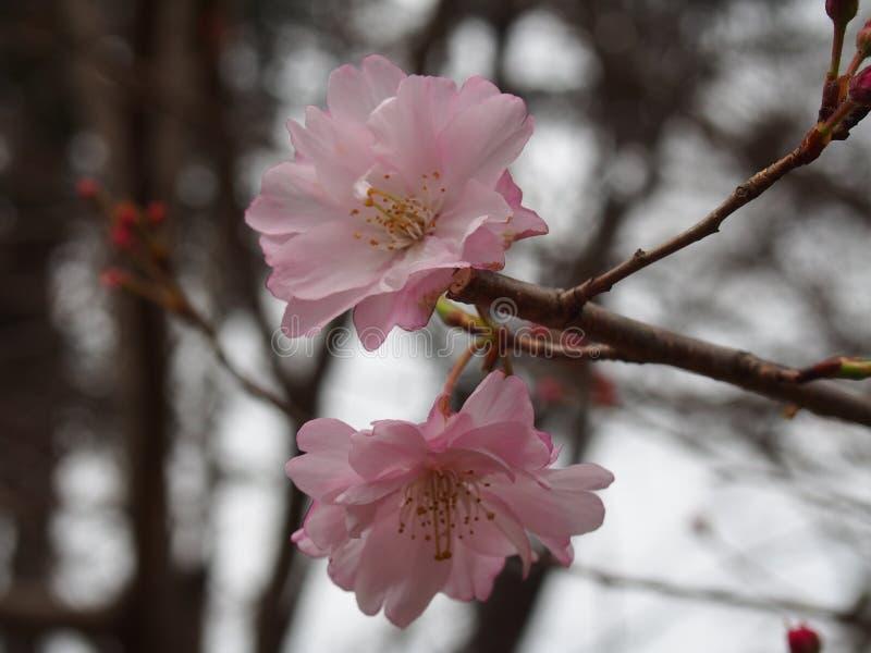 Körsbärsröda blomningar Cerasus 'Maihime 'på Ueno parkerar royaltyfri bild