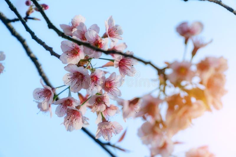 Körsbärsröda blomningar eller Sakura i vinter på soluppgång för bakgrund Fokal- Seletive arkivbild