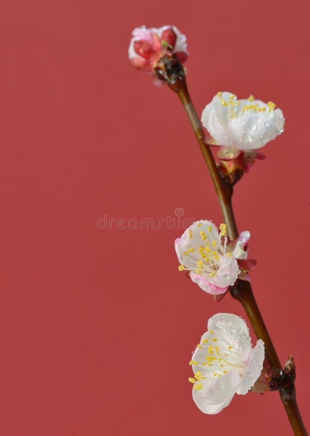 Körsbärsröda blomningar för frunch royaltyfria foton