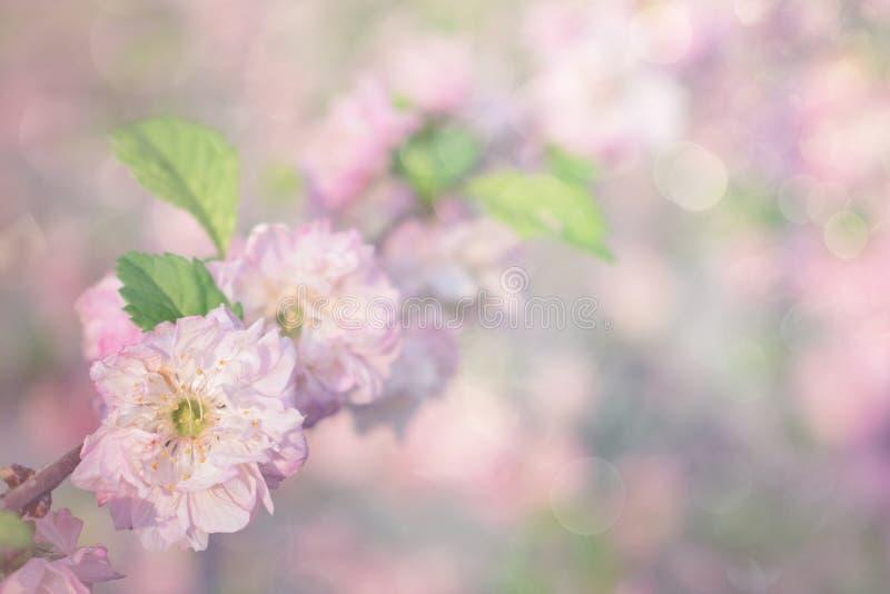 Körsbärsröda blomningar för vår, rosa blommor på pastellfärgad bokehbakgrund Härliga rosa rosor blommar gränsen på mjukt blänker  fotografering för bildbyråer