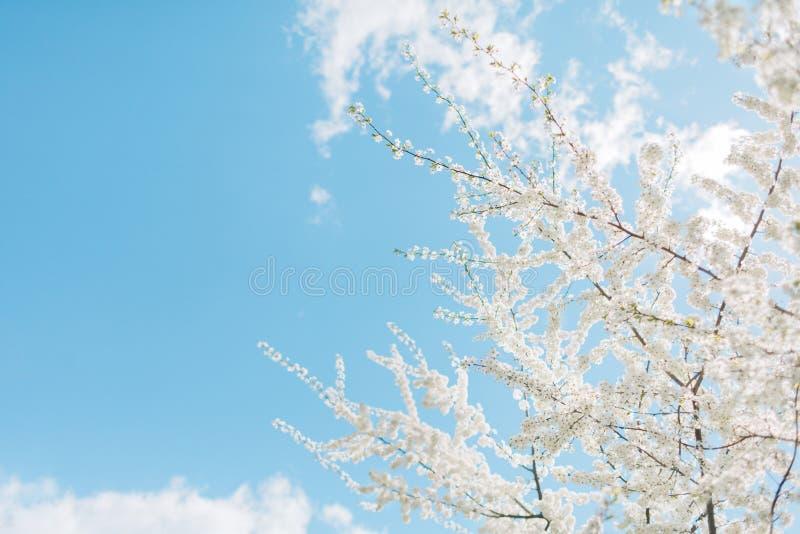 Körsbärsröda blomningar för vår, vita blommor arkivfoto