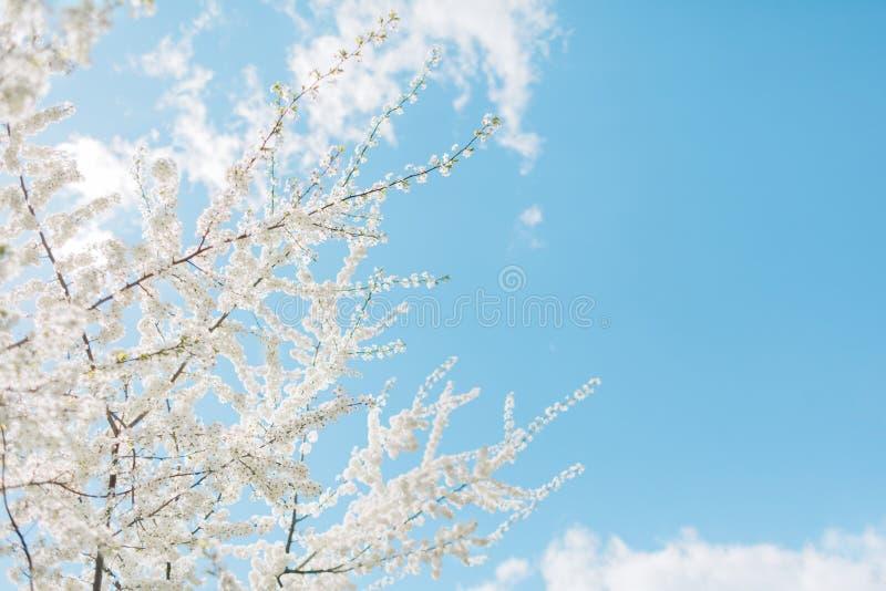 Körsbärsröda blomningar för vår, vita blommor royaltyfria foton