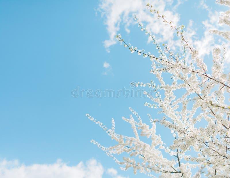 Körsbärsröda blomningar för vår, vita blommor royaltyfri fotografi