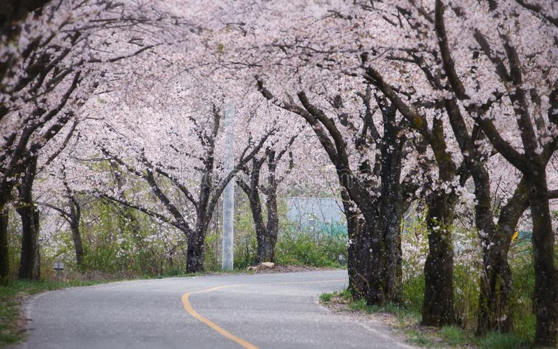 körsbärsröda blomningar i Korea fotografering för bildbyråer