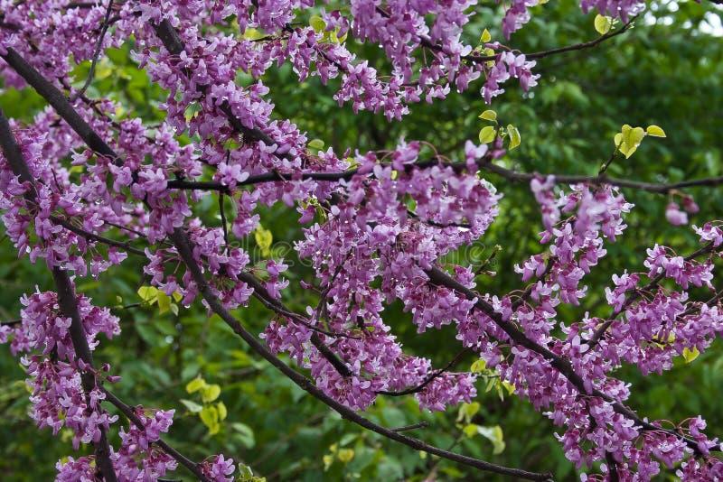 Körsbärsröda blomningar i regn, East Lansing, Michigan, USA arkivfoton