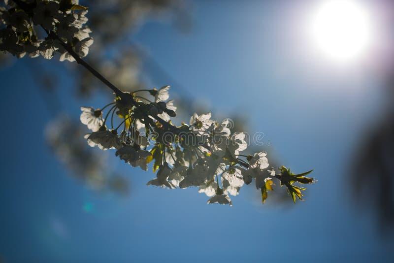 Körsbärsröda blomningar i solskenet, blå himmel royaltyfri bild