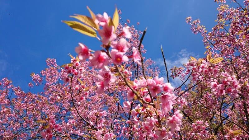 Körsbärsröda blomningar i Thailand arkivfoto