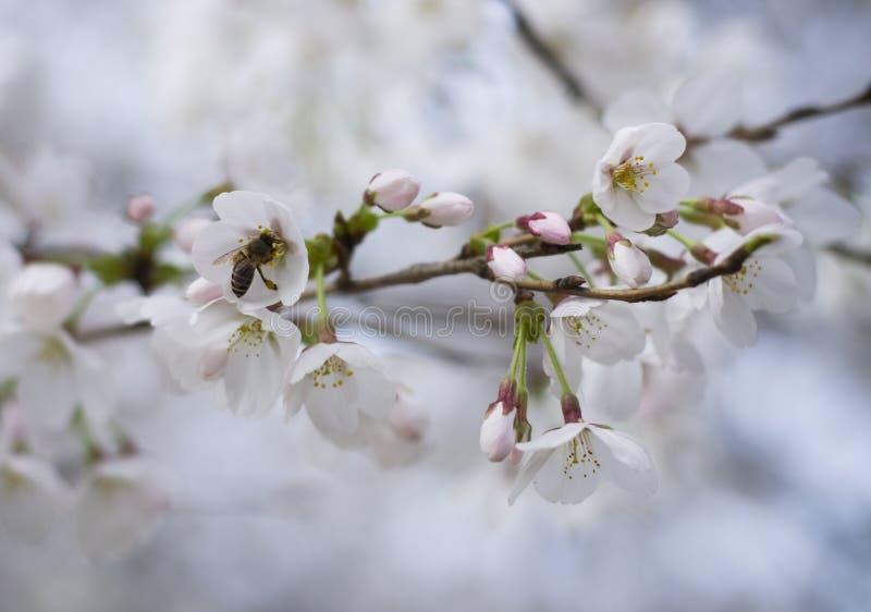 Körsbärsröda blomningar och ett bi fotografering för bildbyråer