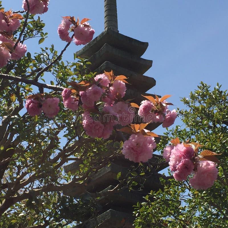 Körsbärsröda blomningar och pagod arkivbild