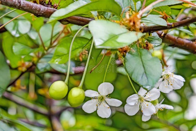 Körsbärsröda blomningar och rå gröna körsbär på trädfilialer arkivfoton