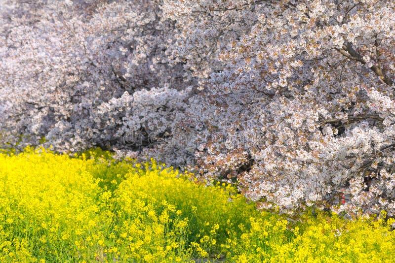 Körsbärsröda blomningar och rapsfröblom på Kumagaya Arakawa Ryokuchi parkerar royaltyfria foton