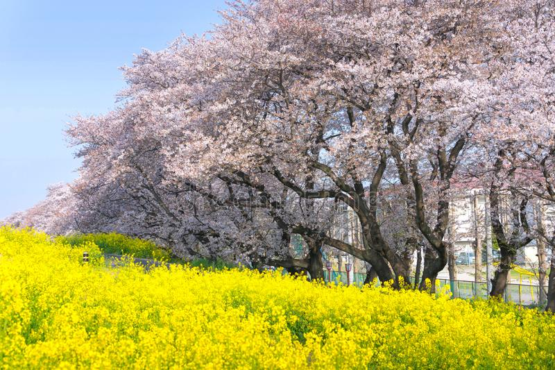 Körsbärsröda blomningar och rapsfröblom på Kumagaya Arakawa Ryokuchi parkerar royaltyfria bilder