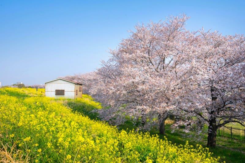Körsbärsröda blomningar och rapsfröblom på Kumagaya Arakawa Ryokuchi parkerar arkivfoto