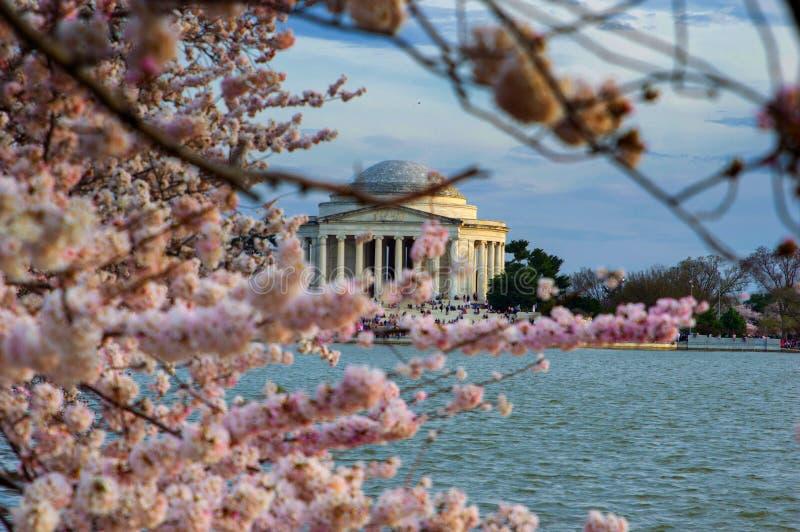 Körsbärsröda blomningar och Thomas Jefferson Memorial royaltyfria foton