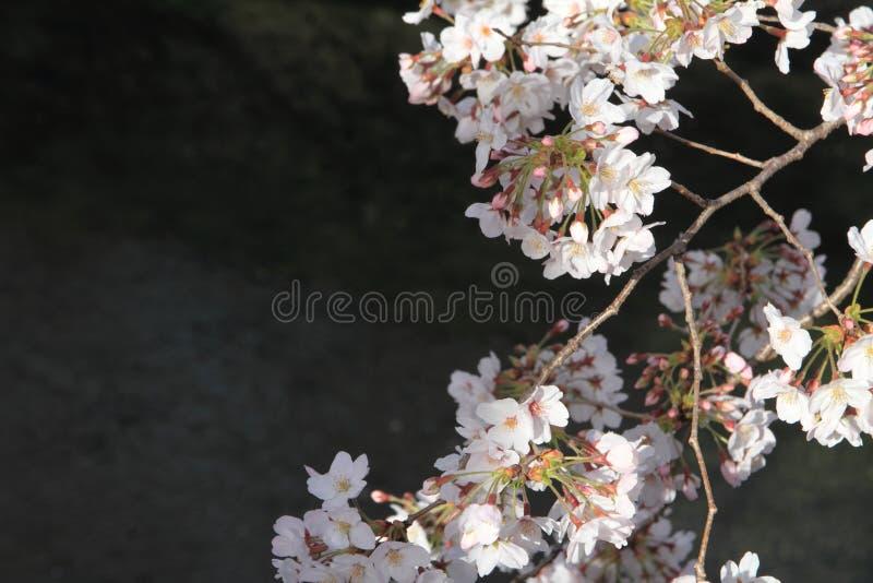körsbärsröda blomningar och yttersida av den Ooka floden, Yokohama royaltyfria bilder