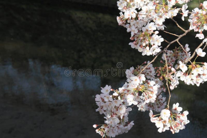 körsbärsröda blomningar och yttersida av den Ooka floden, Yokohama fotografering för bildbyråer