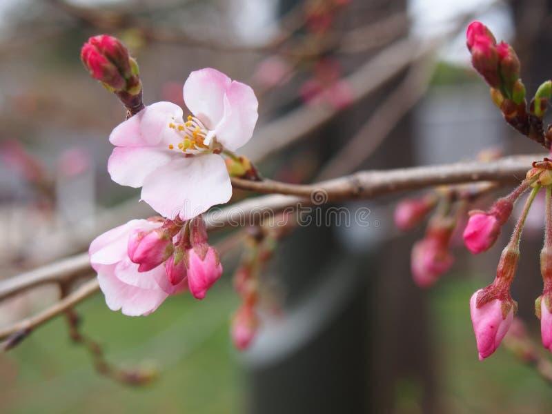 Körsbärsröda blomningar omkring som blommar blommor och knoppar fotografering för bildbyråer