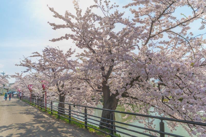 Körsbärsröda blomningar på den Hirosaki slotten royaltyfria bilder