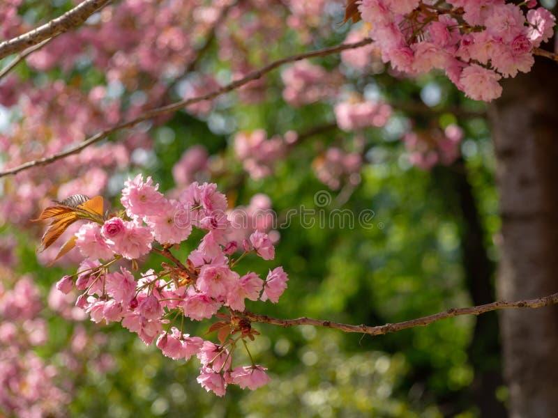 Körsbärsröda blomningar på trädet på den soliga dagen i vår arkivbilder