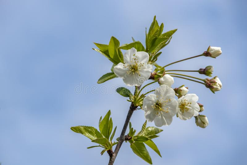 Körsbärsröda blomningar på trädfilialer och gröna sidor royaltyfria bilder