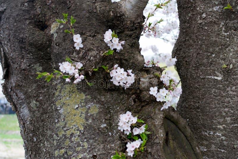 Körsbärsröda blomningar på trädstammen royaltyfria bilder